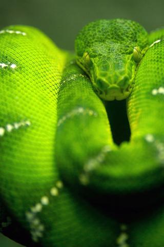 wallpaper green. Green snake iPhone wallpaper