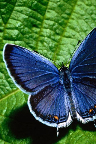 To put this Blue butterfly iPhone Wallpaper on your iPhone, right-click on