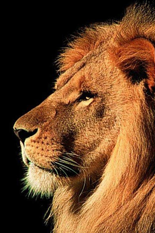 Iphone Lion Free Wallpaper Lion Iphone Background Cool Ipod Touch