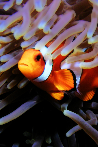 Iphone Clownfish Free Wallpaper Clownfish Iphone Background