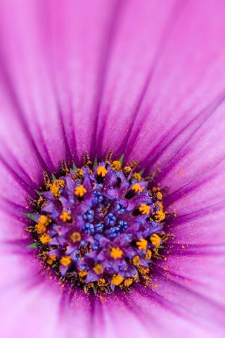 purple flower wallpaper. Purple flower iPhone wallpaper